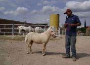 Caballo miniatura precioso con registro de la amha  no pony caballo
