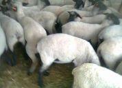 Rancho ovino regina