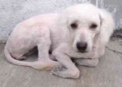Perrita french poodle busca hogar urgente!!