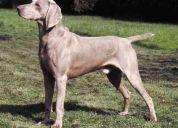 Busco novia para mi cachorro weimaraner