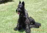 Busco perro para mi perra schnauzer gigante