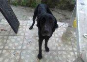 Encontre perro negro  labrador  tampico