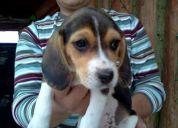 Vendo perritas beagle