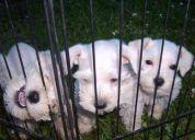 Venta de cachorrros snauzer mini toy  blancos
