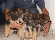 Hermosos cachorros pastor aleman