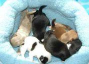 Hermoso chihuahua cachorros para su aprobación