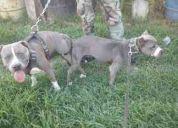 Cachorritos pit bull blue