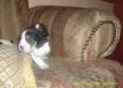 Cachorros beagle!!!