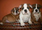 Bulldogs ingles cachorros preciosos