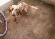Regalo bassed hound 1 1/2
