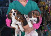 Exelentes beagle para esta navidad