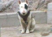 Bull terrier ingles para monta