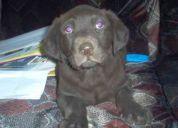 Labrador chocolates raza pura garantia mpresa de raza y salud