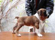 Cachorro boxer linea 100% europea nieto de ch.int , ch.cub trueno negro de las arrillas