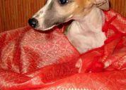 Whippets. excelentes cachorritos de la más alta calidad