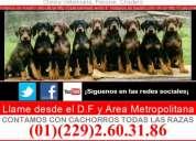Venta de cachorros dobermann sepia , golondrinos ,blancos y azules envio gratis