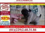 Kit para cuidados de cachorro gratis en la compra de un pug edicion limitada