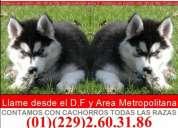 Cachorritos de husky siberiano con garantia comprobada y envio sin costo