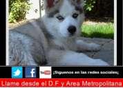 Hermosos cachorros husky siberiano de ojos azules en promoxion¡¡