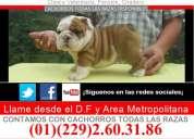 Bull dog ingles y frances criadero certificado x millones de familias en el mundo