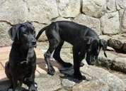 Se vende linda cachorra gran danese