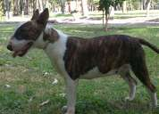 Finos bullterrier ingles (jalisco) maquilas x 1 cachorro.