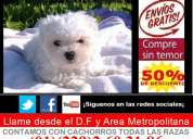 Cachorros(as) maltes tacita de te con pedigree ,chip y tatuaje envio todo mexy usa gratis