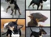 Bull terrier ingles tricolor