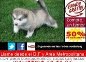 **cachorros y cachorras de alaskan malamute preciosos **
