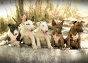 Bull terrier ingles gran oferta pedigree internacional