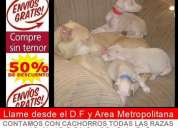 Unico criadero en mexico con cachorros de dobermann blanco visitanos en nuestro criadero