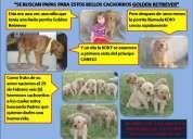 Se buscan papas para estos bellos cachorros golden retriver!!