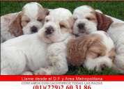 Contamos con cachorros de cocker spaniel con pedigree internacional azul