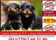 Hermosos cachorros rottweiler hembras y machos envio sin costo