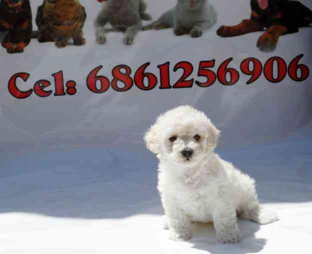 French Poodle Mini Toy En Mexicali