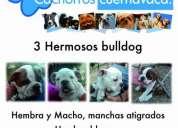 Hermosos bulldogs