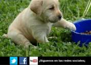 Grandes promociones en cachorros de labrador 100% garantizados por escrito