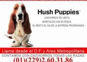 Cachorros basset hound +kit +envio+trasportadora+garantia=suer precio