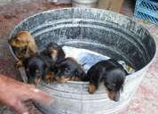 Hermosos cachorritos dachshund (salchicha)