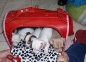 Cachorritos chihuahueÑos de familia regala para el 14 de febrero remato! , no criadero