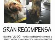 ¡¡¡¡¡¡seeee buuusca!!!!!!!  gran recompensa!!!!! yorkshire terrier!!!!!