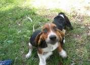 Gran oportunidad bonitos cachorros tricolor basset hound