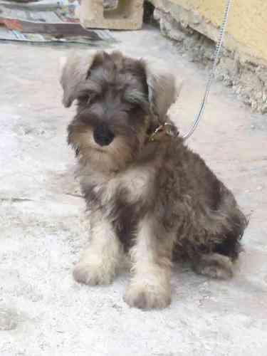 Fotos de perros schnauzer de 3 meses