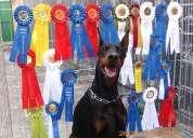 Doberman europeo cachorros padres campeones pedigree