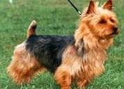 Busco novio australian terrier