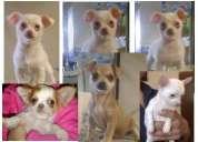 Chihuahua chiquitos pelo largo y corto