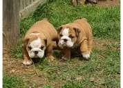 Bulldogs ingles cachorros envios gratis incluye  pedigree