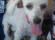 Se busca french poodle mini toy......se gratificara ampliamente