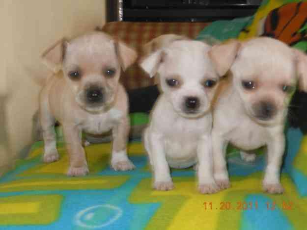 Vendo cachorros chihuahuas 2 perros y 2 hembras tijuana for Vendo chihuahua barcelona