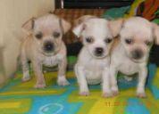 Vendo cachorros chihuahuas 2 perros y 2 hembras